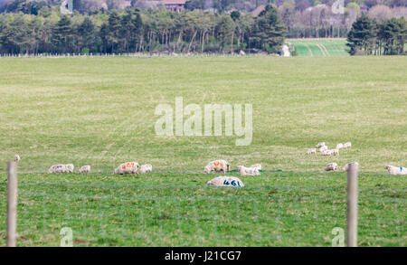 a group of sheep with numbers painted on them sitting in a field in England, UK - Stock Photo