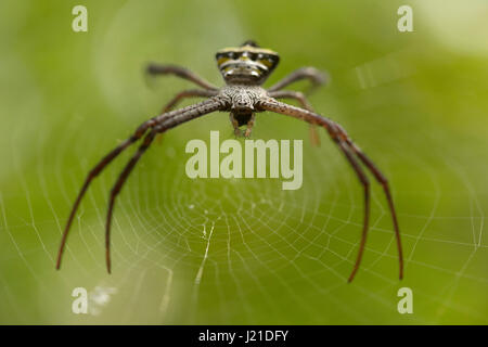 Signature spider, Argiope sp , Goa, INDIA. Spiders of genus Argiope are often found in gardens. The genus acquires - Stock Photo