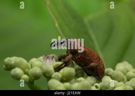 Beetle, Aarey Milk Colony , INDIA. - Stock Photo