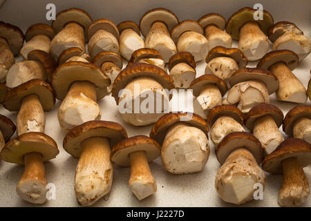 Porcini (Boletus edulis: aka King Bolete). Proceeds of a day's foraging in the woods. - Stock Photo