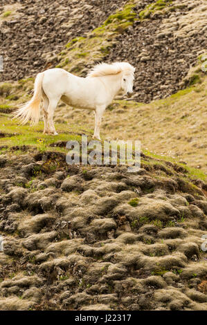 A white Icelandic horse proudly standing on a lava mound, open space, looking at the camera, portrait, freedom, - Stock Photo