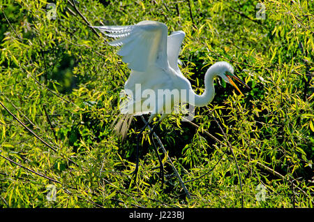 Great White Egret Chases Away Intruder Near Its Nest In Rookery On