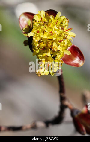 signs of spring. closeup of crimson maple tree buds bursting into flower stage on a single branch end. male and - Stock Photo