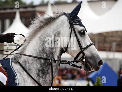 Beautiful purebred dressage horse portrait - Stock Photo