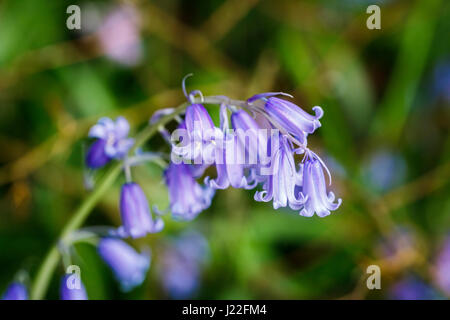 Inflorescence of tepals of Endymion non-scriptus, common English bluebell, flowering in a British garden in spring - Stock Photo