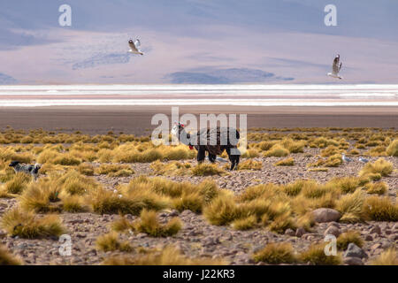 Llama in Bolivean altiplano - Potosi Department, Bolivia - Stock Photo