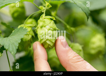 Close-up of hops cones in Issaquah, Washington, USA.  Hops are the female flowers (seed cones, strobiles) of the - Stock Photo
