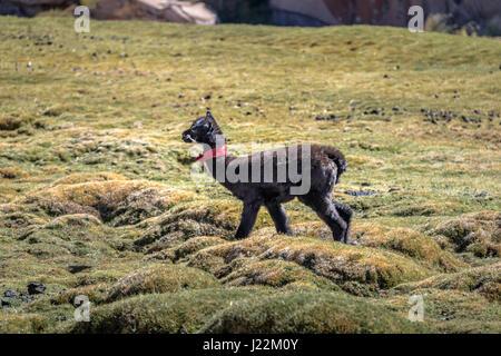 Baby Llama in Bolivean altiplano - Potosi Department, Bolivia - Stock Photo