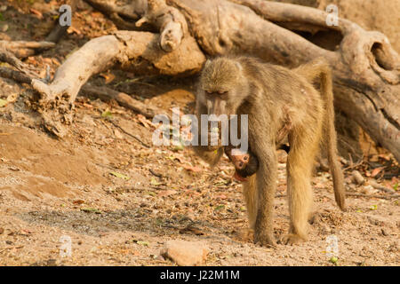 Chacma (or Cape) baboon mother carrying baby underneath her, along the Chobe River in Chobe National Park, Botswana, - Stock Photo
