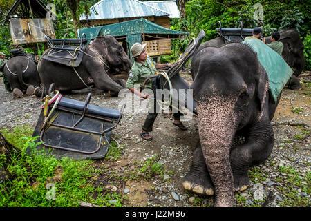 Rangers are putting saddles onto Sumatran elephants in Gunung Leuser National Park, Sumatra, Indonesia. © Reynold - Stock Photo