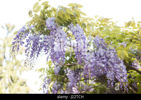 Hanging purple wisteria bunches   flowers in spring - Stock Photo