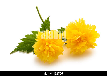 Kerria (Kerria japonica) isolated on white background - Stock Photo