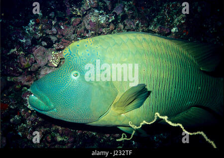 This close-up picture of a Napoleon wrasse (Cheilinus undulatus) was taken to show its remarkably beautiful colouring - Stock Photo