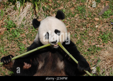 Cute giant panda eating bamboo shoots from the center. - Stock Photo