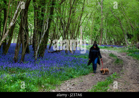 A Young Woman Walking Her Dog Through A Bluebell Wood, Sussex, UK - Stock Photo