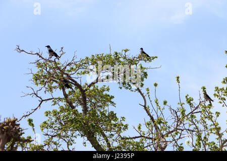 A flock of crows perched on a tree top - Stock Photo