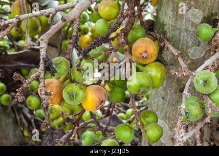 Closeup to Raw and Ripe of Cluster Fig/ Goolar (Gular)/ Ficus Racemosa L. / MORACEAE - Stock Photo