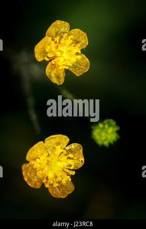 Small meadow flowers with water drops in morning sun rays. - Stock Photo