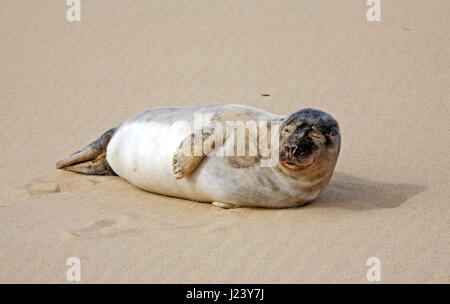 An immature Grey Seal, Halichoerus grypus, on the beach at Horsey, Norfolk, England, United Kingdom. - Stock Photo