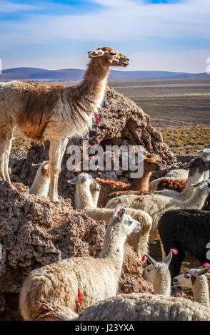 Lamas Lamas herd in Eduardo Avaroa National Park, Bolivia - Stock Photo