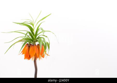 Crown imperial on a white background - Stock Photo