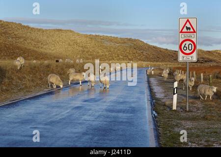 Sheep on the road, Ellenbogen, List, Sylt,  North Frisia, Germany, Europe - Stock Photo