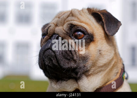 Portrait of a pug dog, Germany - Stock Photo
