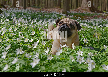 Pug dog lying in a meadow with wood anemones, Schleswig-Holstein, Germany, Europe - Stock Photo