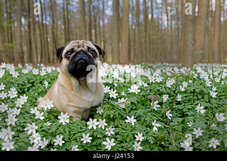 Pug dog sitting in a meadow with wood anemones, Schleswig-Holstein,Germany, Europe - Stock Photo