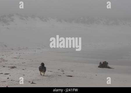 Falkland Steamer duck - Stock Photo