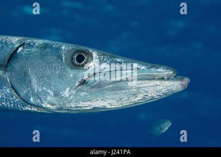 Closeup of Great barracuda - Stock Photo
