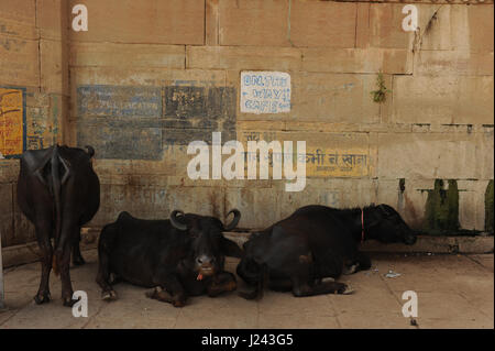 Three water buffalo in Varanasi, Uttar Pradesh, India - Stock Photo