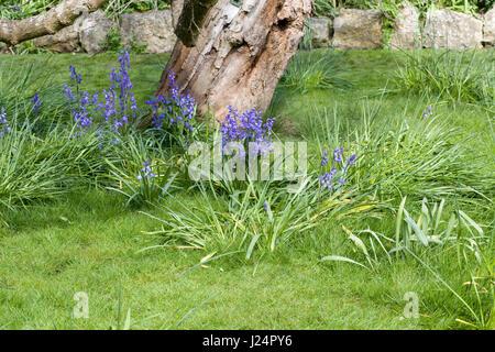 Hyacinthoides non scripta. English bluebell flowers - Stock Photo