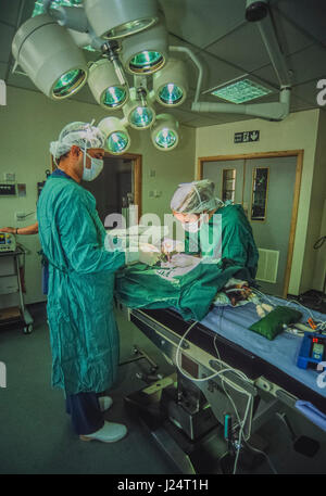 Veterinary surgeons perform an operation on a cat at the Blue Cross Animal Hospital, Victoria, London, United Kingdom - Stock Photo