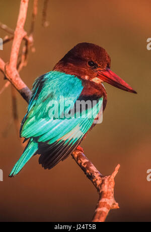 White-throated kingfisher, (Halcyon smyrnensis), also known as White-breasted kingfisher, perched on branch, Keoladeo - Stock Photo