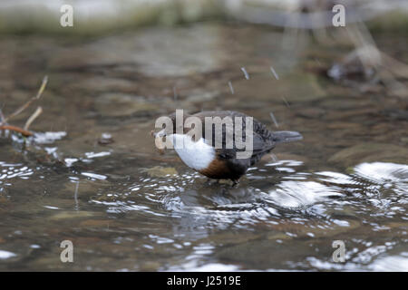 White-throated Dipper, Cinclus cinclus, shaking insect larva prey - Stock Photo
