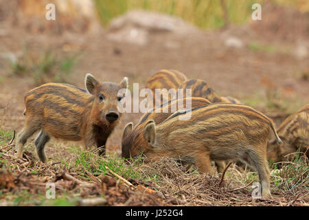 Wild Boar piglets in the Forest of Dean - Stock Photo
