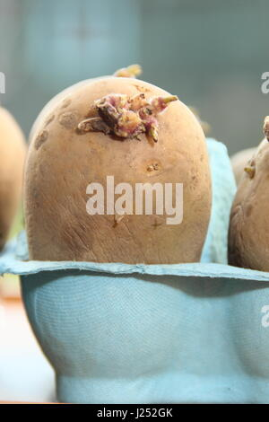 Chitting seed potatoes in egg box containers on sunny window sill to encourage strong sprouts before planting out - Stock Photo