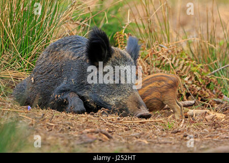 Wild Boar sow suckling piglet in the Forest of Dean - Stock Photo