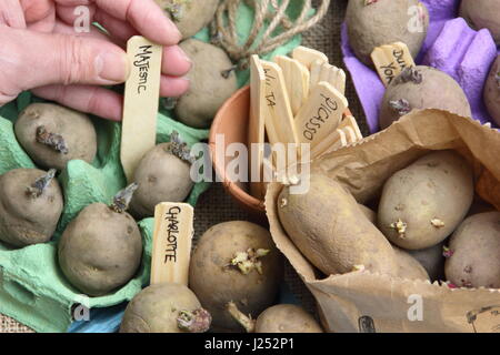 Male gardener labelling seed potatoes chitting in egg boxes indoors to encourage strong sprouts before planting - Stock Photo