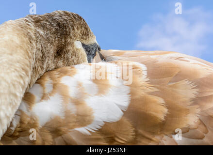 White Mute Swan Cygnet (cygnus olor) with its eyes closed, having a sleep. Sleeping concept. Taking a nap concept. - Stock Photo