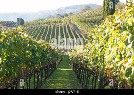 A large expanse of vineyards under the late afternoon sun. - Stock Photo