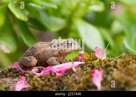Common Toad, Bufo bufo, juvenile, small, one or two years old. Sussex. Garden. April. - Stock Photo