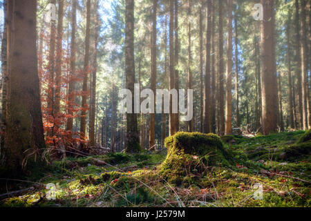 Summer pine forest landscape with green grass and moss. Photographed in Baden-Wurttemberg, Germany.  (harmony, relaxation - Stock Photo