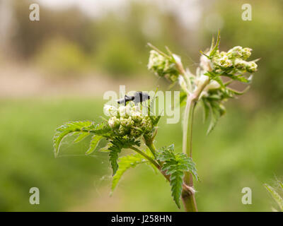 a clear and crisp day time shot of a large and detailed black fly resting upon and eating some cow parsley in spring - Stock Photo