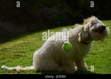 Cockerpoo shaking head in garden with tennis ball - Stock Photo