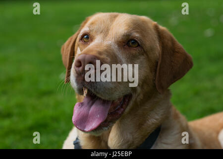 Male Blonde Labrador playing in the garden with its tounge out - Stock Photo