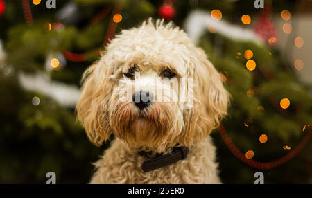 A cute cockapoo sitting in from on a Christmas tree - Stock Photo
