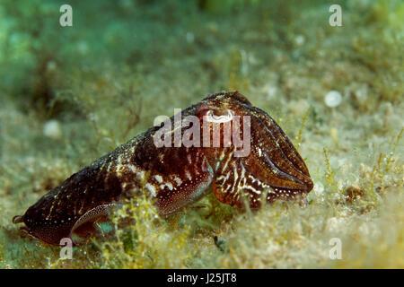 Common cuttlefish from Hvar island, Croatia - Stock Photo