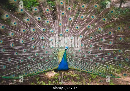 Peacock Showing Tail Feathers, Lokrum Botanical Garden, Croatia - Stock Photo